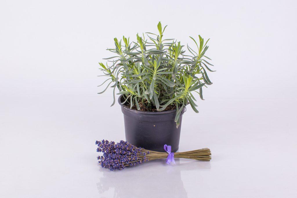 Svježe sadnice lavande